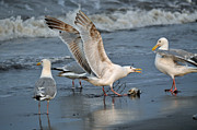 Sea Birds Prints - Seagulls No Way  Print by Debra  Miller
