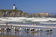 Yaquina Head Light Prints - Seagulls On The Beach And Yaquina Head Print by Craig Tuttle