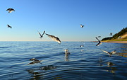 Sea Birds Posters - Seagulls over Lake Michigan Poster by Michelle Calkins