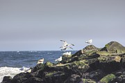 Oceanview Posters - Seagulls Playing on the Rocks Poster by Pictures HDR