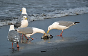 Sea Birds Prints - Seagulls Sharing Print by Debra  Miller