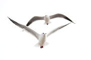 Flying Seagulls Framed Prints - Seagulls Framed Print by Tom Gowanlock