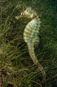 Pisces Photos - Seahorse by Louise Murray