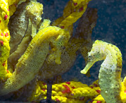 Hippocampus Photos - Seahorses by Louise Murray