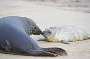Love The Animal Photo Framed Prints - Seal And Pup Together On Beach Framed Print by Dougal Waters