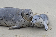 Seal Baby  Print by Judy Grant