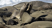 Elephant Seals Metal Prints - Seal Duet Metal Print by Bob Christopher