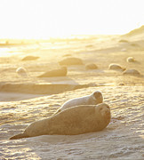Brightly Lit Prints - Seals And Seal Pups On Uk Coastline Print by Dougal Waters