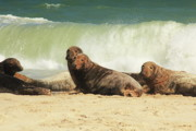 Chatham Prints - Seals on the beach with surf Print by Roupen  Baker