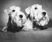 Domestic Interior Posters - Sealyham terriers Poster by M E Browning and Photo Researchers