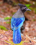 Stellar Jay Prints - Searching Print by Jack Moskovita