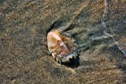 Chuck Kuhn - Seashell II