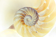 Seashell Art Photo Prints - SeaShell. Light Version Print by Jenny Rainbow