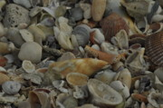 St Pete Photos - Seashells 2 by Maria Suhr