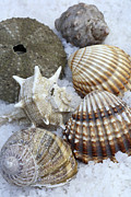 Beachcombing Framed Prints - Seashells Framed Print by Frank Tschakert
