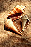 Shell Texture Posters - Seashells Poster by HD Connelly