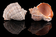 Seashell Photos - Seashells on black by Konstantin Gushcha