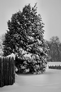 Snow Tree Prints Metal Prints - Season of White Metal Print by Steven Ainsworth