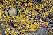 Peter J Sucy Metal Prints - Seaweed on the Rocks Metal Print by Peter J Sucy