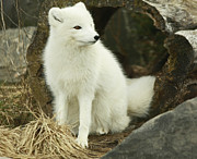 Shelley Myke Framed Prints - Secret Hide Away- Arctic Fox Framed Print by Inspired Nature Photography By Shelley Myke