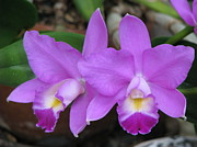 Cattleya Posters - Secret Love Orchid Poster by Michele Penner