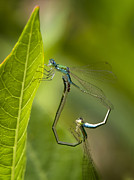 Dragonflies Photos - Sedge Sprite by Jeremy Martin