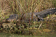 Alligators Photos - See you later Alligator by Juergen Roth