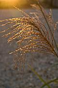 Esteem Prints - Seed head at Sunset Print by Douglas Barnett
