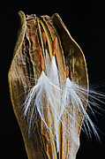 Hairy Stem Framed Prints - Seed Pod-3- St Lucia Framed Print by Chester Williams
