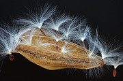 Hairy Stem Prints - Seed Pod-4- St Lucia Print by Chester Williams