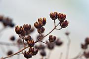 Seed Pods 2 Print by Douglas Barnett