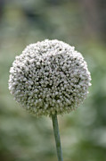 Seedhead Framed Prints - Seedhead Framed Print by Dawn OConnor