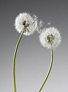 Two By Two Framed Prints - Seeds Connecting Two Dandelions Framed Print by Andy Roberts