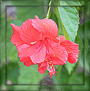 Pink Hibiscus Posters - Seeing Double Hibiscus Poster by Carol Groenen