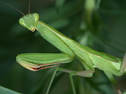 Mantis Photos - Seeing Green by Shane Bechler