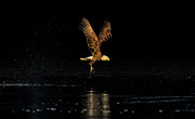 American Eagle Photos - Seeking the Sun -- An Eagles Quest by William Jobes