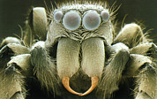 Jumping Spider Photos - Sem Of Head Of Zebra Jumping Spider, Salticus Sp. by Power And Syred