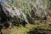 Florida Swamp Prints - Seminole Wind Print by Carol Groenen