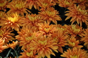 Soil Photo Posters - Sending Joy Chrysanthemums Poster by Debra  Miller