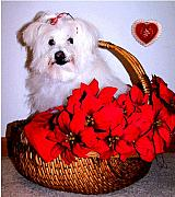 White Maltese Prints - Sending Love Print by Vijay Sharon Govender