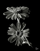 Flower Photos Framed Prints - Senecio Stellata in Black and White Framed Print by Endre Balogh