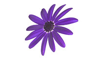 Pericallis Senetti Prints - Senetti Deep Blue head Print by Richard Thomas