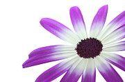 Pericallis Senetti Prints - Senetti Magenta Bi-Color Lower right Print by Richard Thomas