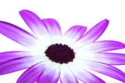 Pericallis Senetti Prints - Senetti Magenta Bi-Colour Print by Richard Thomas