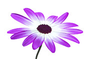 Pericallis Senetti Prints - Senetti Magenta High Key Print by Richard Thomas