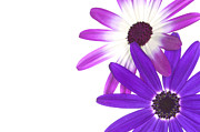 Pericallis Senetti Prints - Senettis  Print by Richard Thomas