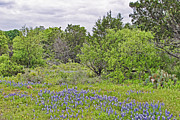 Blue Bonnets Photos - Senic Blue Bonnets by Linda Phelps