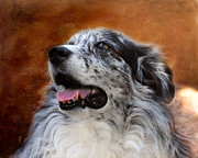 Aussie Framed Prints - Senior Australian Shepherd Portrait Framed Print by Jai Johnson
