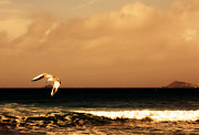Lone Gull Prints - Sennen seagull Print by Linsey Williams
