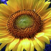 Sensational Sunflower Print by Christine Belt
